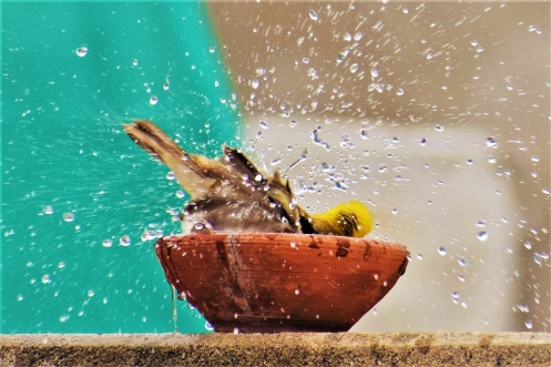 Bird bathing-01