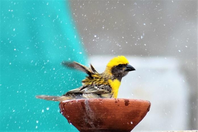 Bird bathing1-01